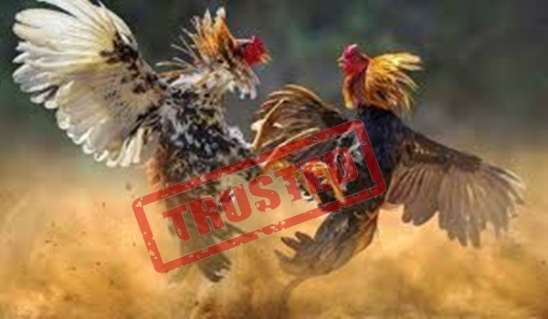 Judi Adu Ayam Bangkok Tutorial Cara Buat Akun